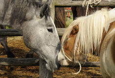 Horse and pony nuzzling Stock Photos
