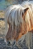 Portrait horse pony Royalty Free Stock Photo