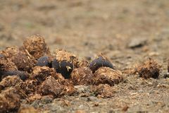 Horse poo Stock Images
