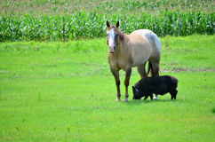 Horse and Pop Belly Pig Unique Friendships. Horse stands over a pop belly pig as if she is protecting her in a grassy field next to a corn field Stock Photography