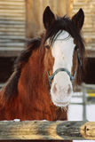 Horse portrait. Clydesdale horse poses for camera Stock Photos