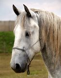 Horse portrait. Portrait of a white horse Royalty Free Stock Image