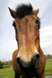 Horse Portrait. Funny close up portrait of a horse stock image