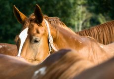 Horse portrait. The horse is listening stock photo