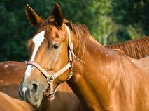 Horse portrait. The horse is listening stock image