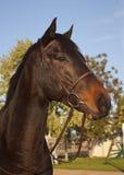 Horse Portrait. A portrait shot of a horses head Royalty Free Stock Photos