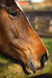 Horse portrait. Rich red sorrel quarter horse close-up portrait Royalty Free Stock Photo