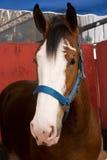Horse portrait. A portrait of a horse Royalty Free Stock Photo