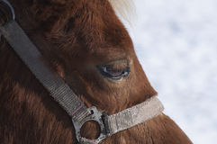 Horse portrait. Braun beautiful horse's eyes Royalty Free Stock Images