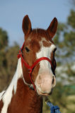 Horse Portrait. Head shot of American Paint Horse with red halter and blue lead rope Royalty Free Stock Photography
