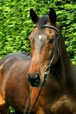 Horse portrait. Beautiful horse portrait in front of green background Stock Image