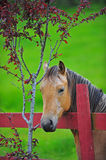 Horse portrait. A beautiful chestnut stallion poses for his photo by a tree stock images