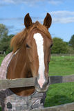 A horse portrait. In a pasture. Waltshire, England Royalty Free Stock Image