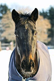 Horse portrait. Horse protected by blanket in snowy field Royalty Free Stock Images