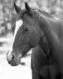 Horse portrait. Black and white portrait of a horse Royalty Free Stock Image