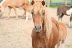 Horse portrait. A miniature mare horse  portrait Royalty Free Stock Photos