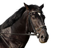 Horse portrait Stock Photography