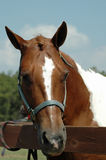 Horse portrait. Paint horse standing at fence Royalty Free Stock Photos