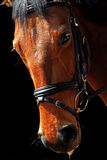Horse portrait. Bay Holsteiner horse isolated on black background wearing dressage bridle Stock Photography