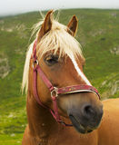 Horse portrait. A funny wild brown horse portrait with a green hill background. Look at the flies around the head Royalty Free Stock Image