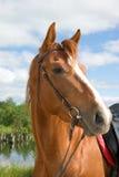 Horse portrait Stock Photos
