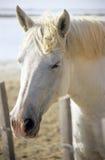 Horse Portrait. A sleepy white horse portrait stock image