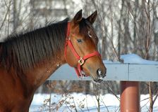 Horse portrait. Outdoor portrait of a beautiful brown yearling horse in snow Royalty Free Stock Image