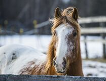 Horse portrait Royalty Free Stock Image