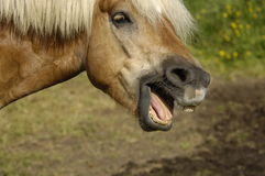 Horse portrait. Outdoor portrait of a neighing horse with wide open mouth showing teeth Stock Photography