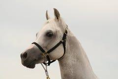Horse portrait. Arabian horse portrait stock images