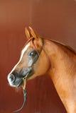 Horse portrait. Arabian horse portrait Royalty Free Stock Photography