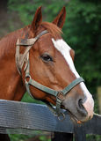 Horse portrait. Head shot of a horse leaning over a fence Royalty Free Stock Photos