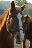 Horse portrait background. Detail of brown horse's head with white blaze back lightened by setting sun with another horse and trees in background Stock Photo