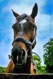 Horse portrait. Bay horse Closeup outside Stock Photography