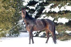 Horse portrait bay color in winter Royalty Free Stock Image