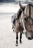 Horse portrait on the beach Royalty Free Stock Images