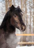 Horse portrait. Beautiful Horse portrait in levade in winter Royalty Free Stock Image