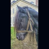 Horse portrait. Portrait of a black horse Royalty Free Stock Image