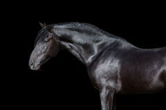 Horse portrait  on black Stock Images