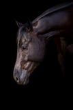 Horse portrait on black Royalty Free Stock Image