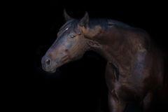 Horse portrait on black Stock Photography
