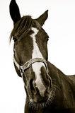 Horse portrait black white. Isolated portrait of a horse head Royalty Free Stock Images