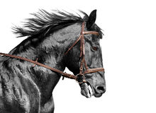 Horse portrait in black and white in the brown bridle. Horse portrait in black and white in the bridle stock image
