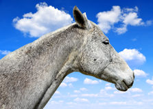 Horse portrait Royalty Free Stock Photography