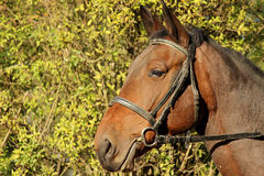 Horse portrait. Brown horse portrait in the late afternoon Royalty Free Stock Photography
