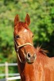 Chestnut horse portrait Stock Photos
