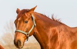 Horse Portrait Chestnut Stock Images