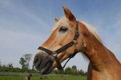 Horse portrait. A Horse with a clear blue sky stock photo