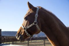 Horse portrait close up in the corral. Headshot of a reddish colored purebred stallion royalty free illustration