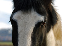 Horse portrait. This close up horse portrait focusing on his staring eyes as if posing for the camera Royalty Free Stock Photos